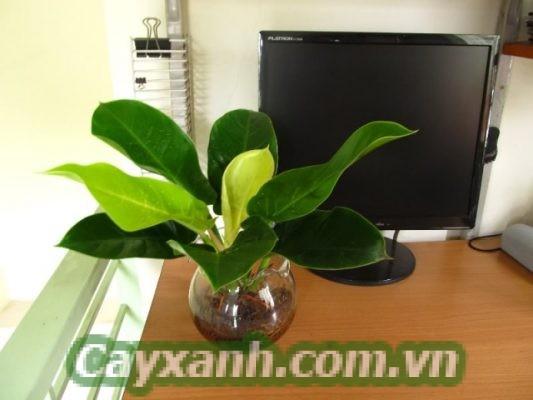 cay-trau-ba-de-vuong-1-1-600x400 Tiết lộ công dụng ít biết của cây trầu bà đế vương xanh