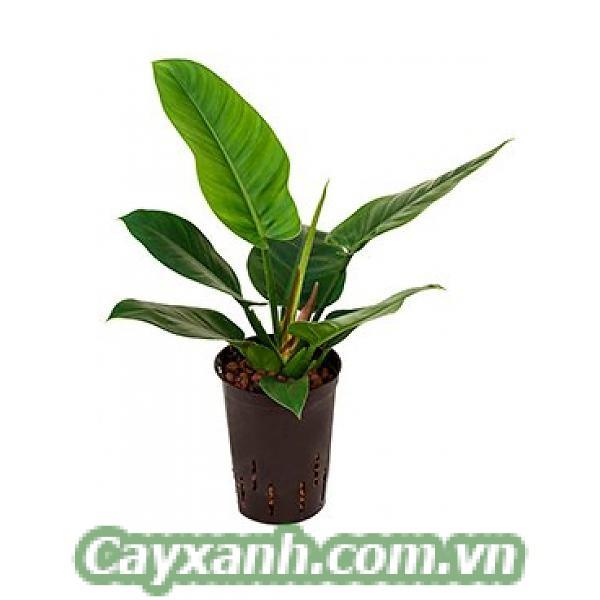 cay-trau-ba-de-vuong-2-5 Chăm sóc cây trầu bà đế vương bài bản như thế nào?