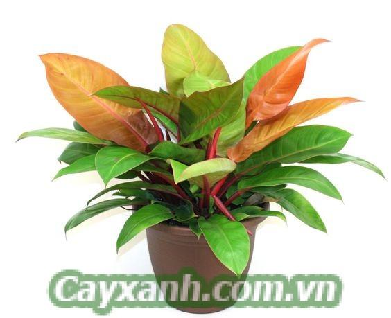 cay-trau-ba-de-vuong-1-6 Chiêm nghiệm ý nghĩa phong thuỷ cây trầu bà đế vương