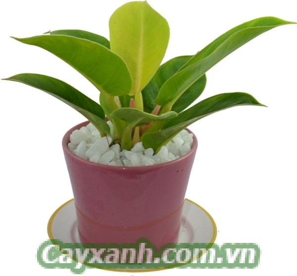 cay-trau-ba-de-vuong-1-533x400 Hướng dẫn chăm sóc cây trầu bà đế vương trồng trong nhà