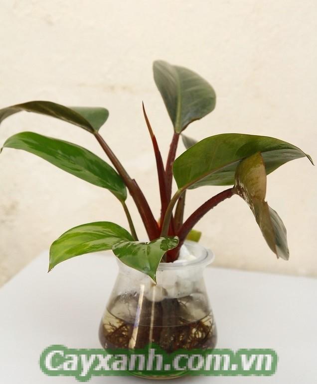 cay-trau-ba-de-vuong-do-1 Cẩm nang chăm sóc cây trầu bà đế vương đỏ