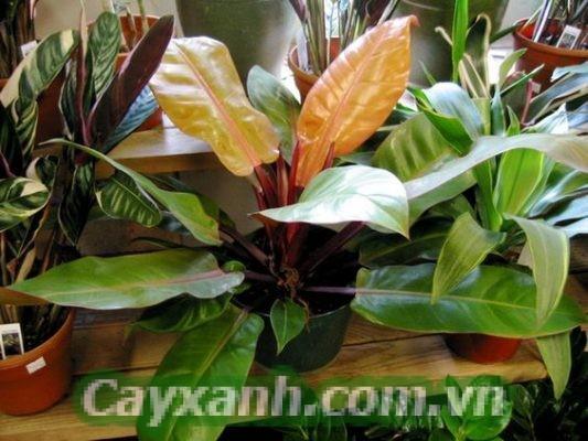cay-trau-ba-de-vuong-do-1-1 Hướng dẫn cách trồng cây trầu bà đế vương đỏ