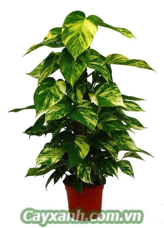 cay-van-nien-thanh-leo-cot-1-1-543x800 Ý nghĩa của cây vạn niên thanh leo cột là gì?