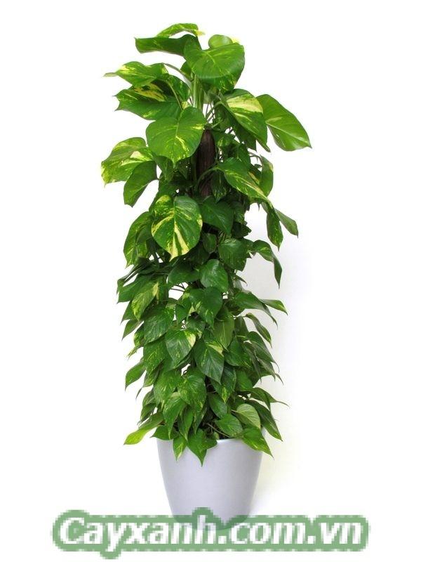 cay-van-nien-thanh-leo-cot-3-4 Chăm sóc cây vạn niên thanh leo cột khoa học