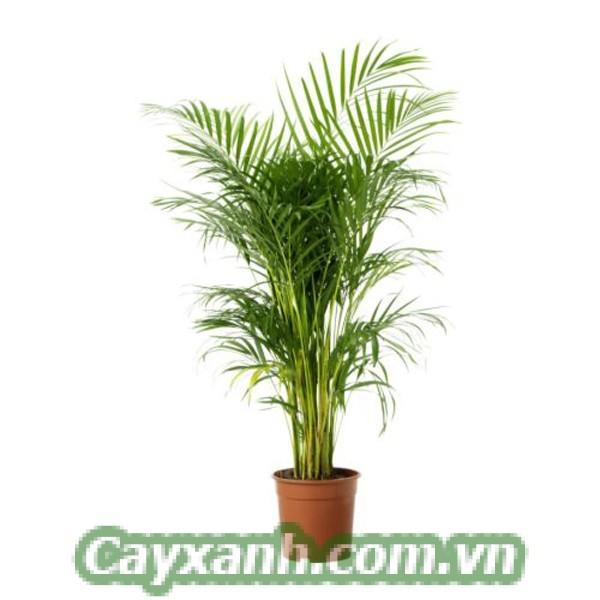 cay-xanh-phong-thuy-2 Nhóm cây xanh phong thủy nên trồng trước nhà?