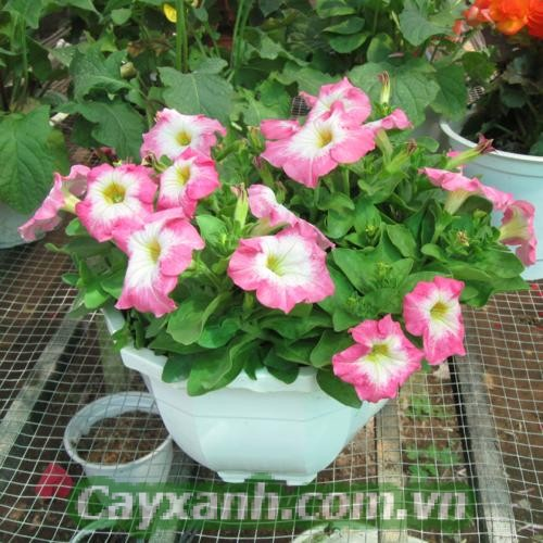 hoa-da-yen-thao-1-4 Chia sẻ cách chăm sóc hoa dạ yến thảo