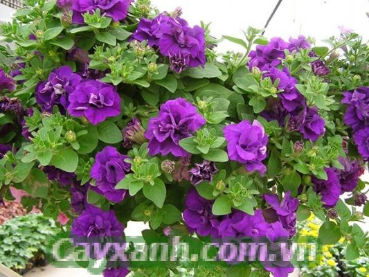 hoa-da-yen-thao-1-8-533x400 Trồng hoa dạ yến thảo theo phương pháp thuỷ canh