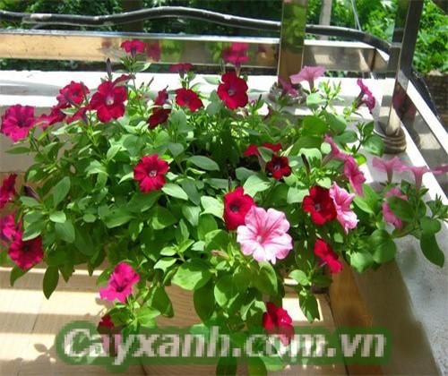 hoa-da-yen-thao-1-7 Làm thế nào để hoa dạ yến thảo lâu tàn?
