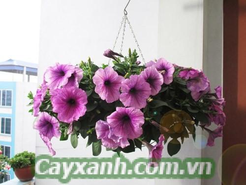 hoa-da-yen-thao-5 Lưu ý khi trồng hoa dạ yến thảo trong nhà