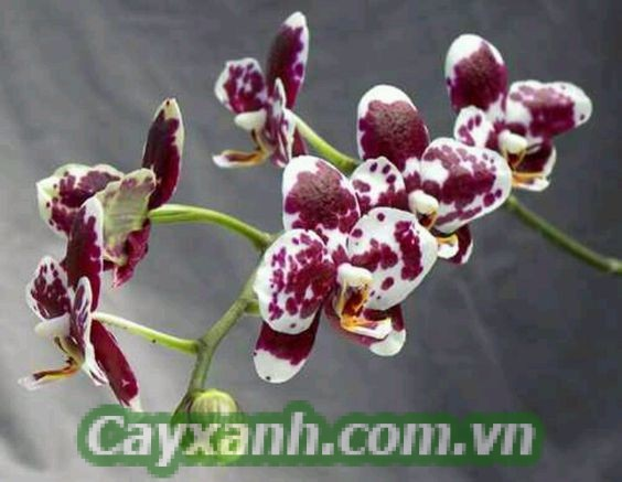 hoa-lan-ho-diep-1-4 Cách nhận biết hoa lan hồ điệp chính xác nhất