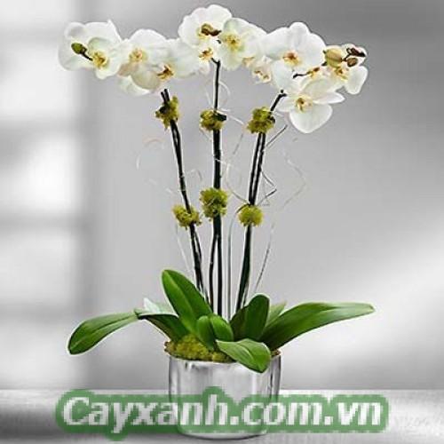 hoa-lan-ho-diep-1-1 Phương pháp chăm sóc giúp hoa lan hồ điệp lâu tàn