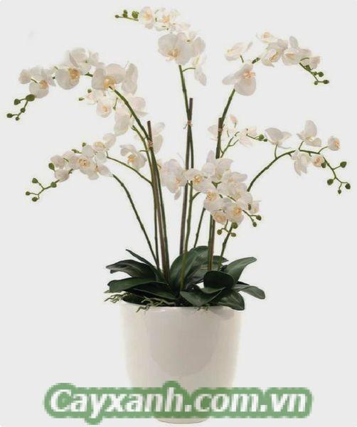 hoa-lan-ho-diep-1-3 Hoa lan hồ điệp có những màu sắc chủ đạo nào?