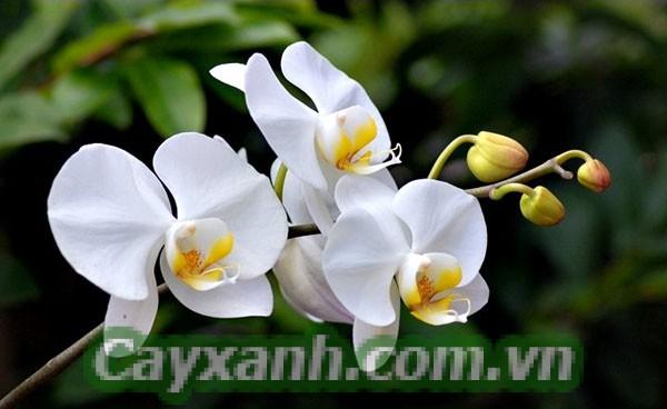 hoa-lan-ho-diep-1 Mẹo xử lý hoa lan hồ điệp nở đúng Tết