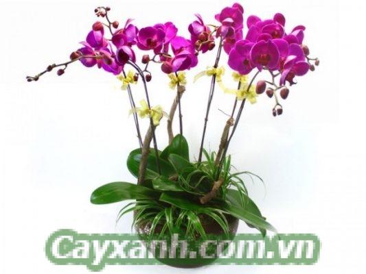 hoa-lan-ho-diep-1-2 Hoa lan hồ điệp có mấy loài?