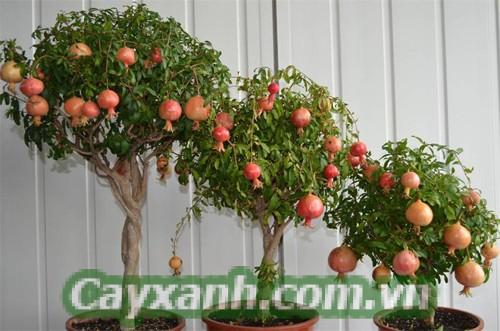 cay-ban-cong-5 Trồng cây ban công ăn quả quanh năm