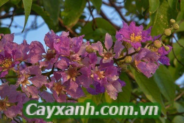 cay-bang-lang-1 Kỹ thuật trồng cây bằng lăng công trình đẹp mắt