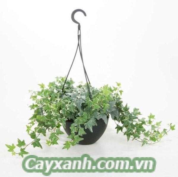 cay-day-leo-1 Trồng cây dây leo trong nhà - Bạn thử chưa?