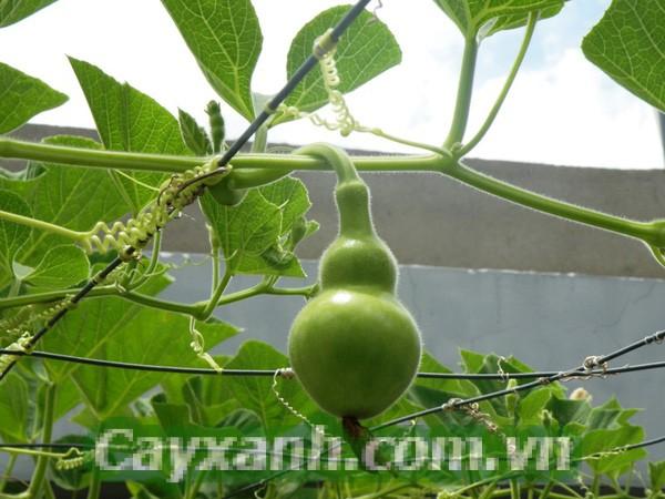 cay-leo-gian-1 Các loài cây leo giàn cho bóng mát và quả ngọt