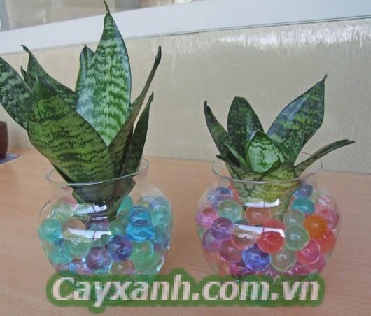 cay-luoi-ho-1 Chia sẻ kỹ thuật trồng cây lưỡi hổ thuỷ canh