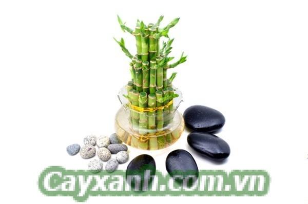 cay-phat-loc-1-2 Chế độ chăm sóc cây phát lộc khoa học