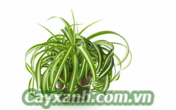 cay-phong-ngu-1 Ai nói phòng ngủ không cần trồng cây phong thủy?