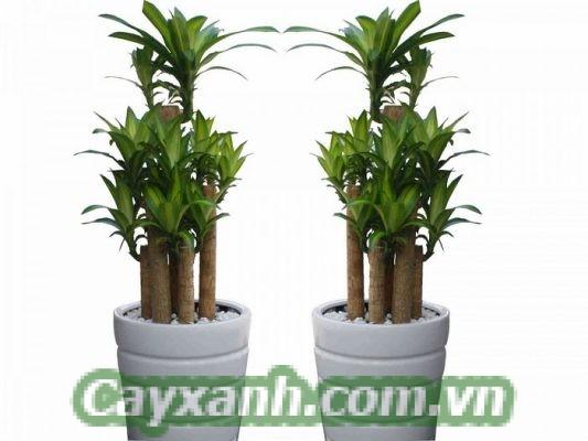 cay-thiet-moc-lan-1 Hướng dẫn nhân giống cây thiết mộc lan tại nhà