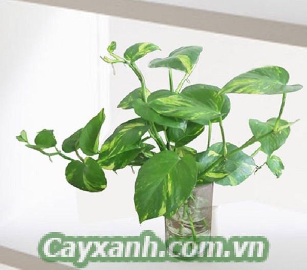 cay-trau-ba-4 Hướng dẫn nhân giống và trồng cây trầu bà tại nhà