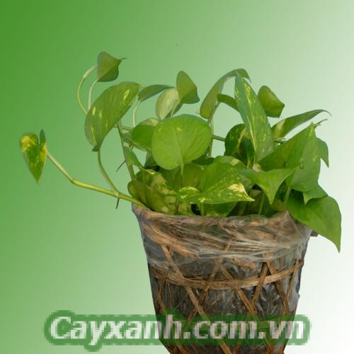 cay-trau-ba-1-1 Bí quyết trồng và chăm sóc cây trầu bà chậu treo
