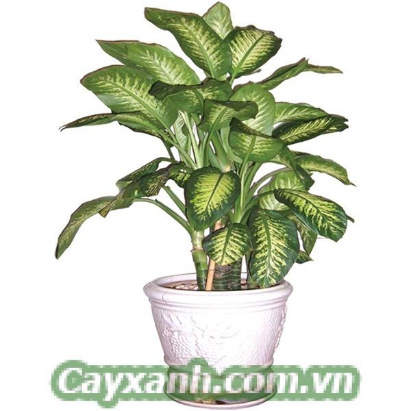 cay-van-nien-thanh-1 Kỹ thuật nhân giống cây vạn niên thanh tại nhà