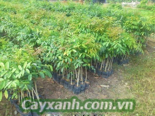 cay-xa-cu-1-1-533x400 Hướng dẫn chăm sóc cây xà cừ cho chất lượng gỗ tốt