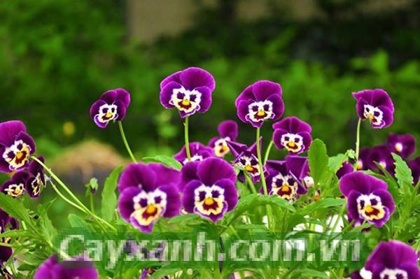 hoa-ban-cong-1-2 Mùa thu nên trồng hoa ban công nào?