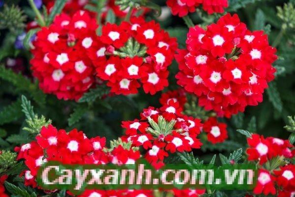 hoa-ban-cong-1-3-561x400 Có những loài hoa ban công nghe tên thôi đã yêu!