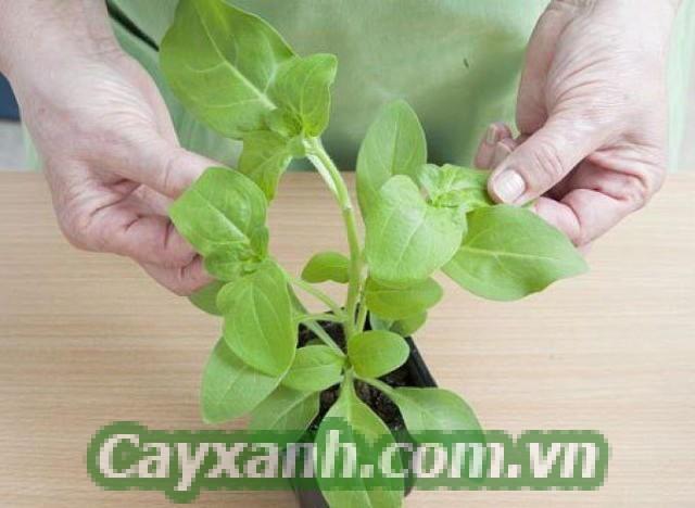 hoa-da-yen-thao-1-598x400 Bật mí cách trồng hoa dạ yến thảo bằng cành cực đơn giản