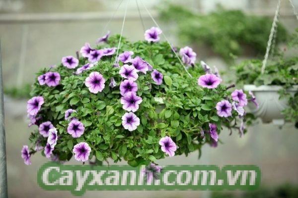 hoa-da-yen-thao-1-1 Phương pháp nhân giống hoa dạ yến thảo cực chuẩn