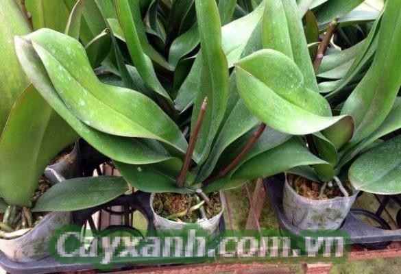 hoa-lan-ho-diep-1-1 Hướng dẫn nuôi cấy phát hoa nhân giống hoa lan hồ điệp